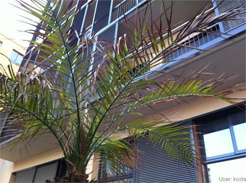 tropenland forum phoenix palme bekommt braune bl tter. Black Bedroom Furniture Sets. Home Design Ideas