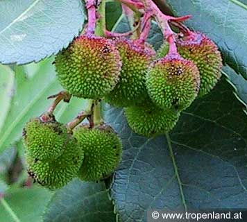 Erdbeerbaum-Arbutusunedo