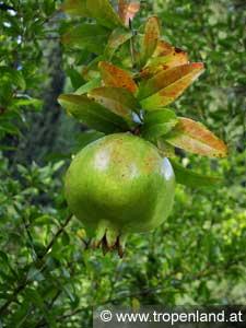 Granatapfel-Punicagranatum