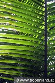 Kokospalme-Cocosnucifera