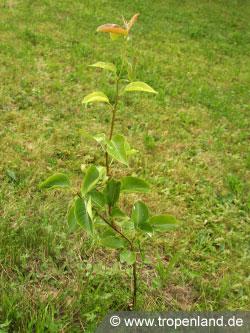 Nashi-Pyruspyrifolia