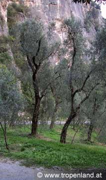 Olive-Oleaeuropaea