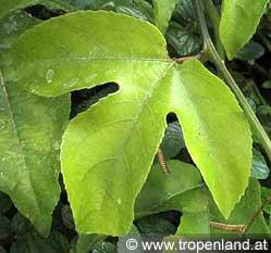 Passionsfrucht-Passifloraedulis