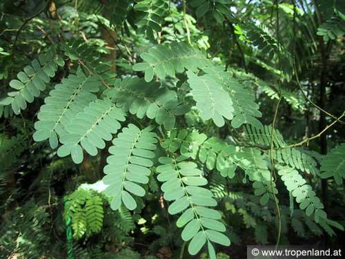 Tamarinde-Tamarindusindica
