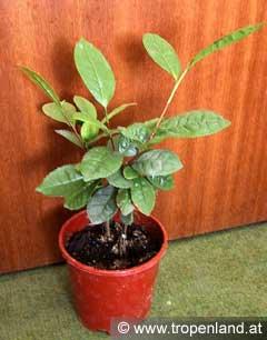 Tee-Camelliasinensis