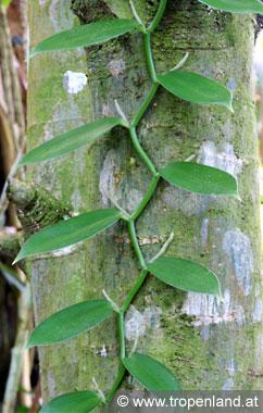 Vanille-Vanillaplanifolia