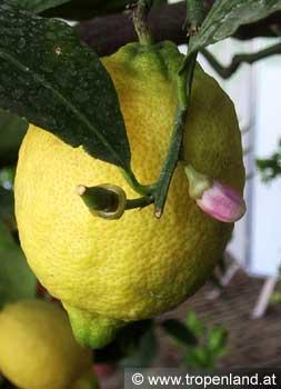 Zitrone-Citruslimon